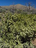 Antelope bitterbush, Mojave Natl Preserve CA (3)