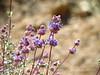 Desert Purple Sage, Salvia sp, Mojave Natl Preserve CA (8)