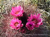 Hedgehog cactus, Rainbow Basin Natural Area, Barstow CA (1)