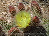 Prickly Pear Cactus, Mojave Natl Preserve CA (3)