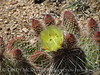 Prickly Pear Cactus, Mojave Natl Preserve CA (2)