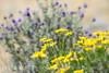 Goldenbush and purple sage, Mojave Natl Preserve CA (1)