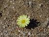 Scale-bud, Anisocoma acaulis, Mojave Natl Preserve CA (1)