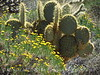 Prickly Pear Cactus, Mojave Natl Preserve CA (1)