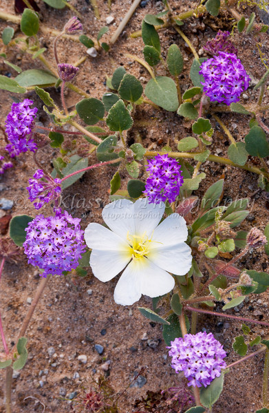 Dune Primrose and Sand Verbena in the sandy washes of the Mojave Desert in southern California, USA.
