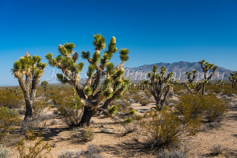 A Joshua Tree forest blooming in the Mojave Desert near Cima, California, USA.