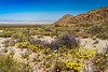 Desert wildflowers blooming along Route 66 in the Mojave Desert, California, USA.