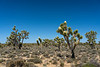 A Joshua Tree forest blooming in the Mojave Desert near Cima, California, USA.