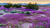 Desert wildflowers Sand verbena and Evening primrose bloom in the Desert Lily Sanctuary in the 2019 Desert Superbloom near Desert Center, California, USA.