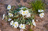 Dune Primrose in the sandy washes of the Mojave desert in southern California, USA