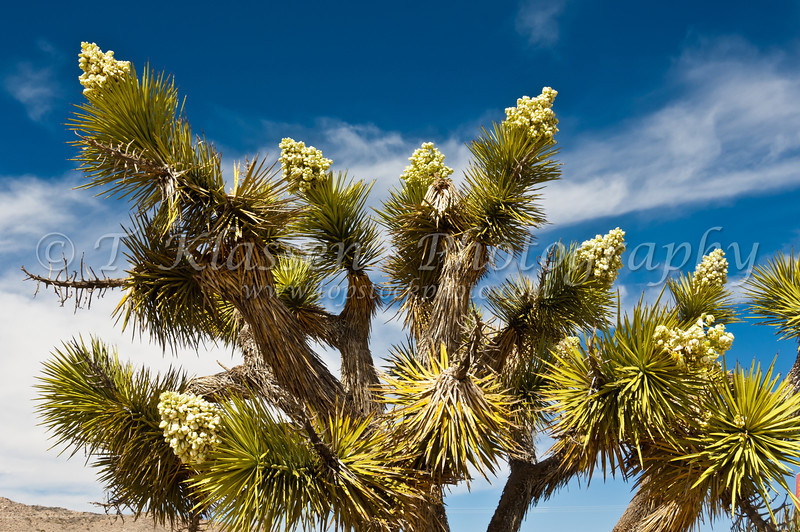 Blooming Joshua Trees in the desert near Twenty-nine Palms, California, USA.