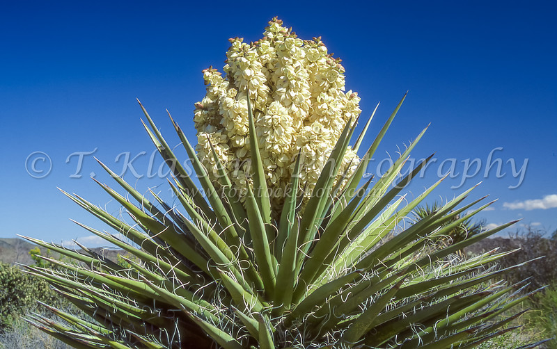 The creamy white blossoms of a yucca plant in the Anza Borrego Desert State Park near Borrego Springs, California, USA.