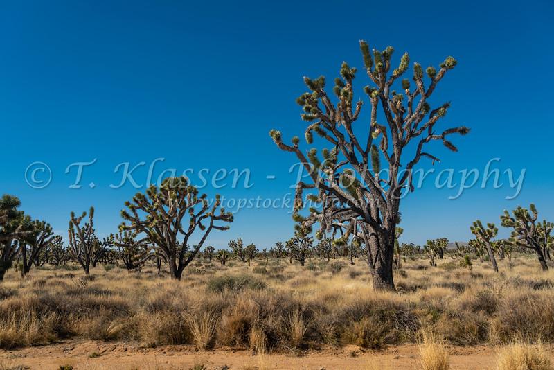 A Joshua Tree forest in the Mojave Desert near Cima, California, USA.