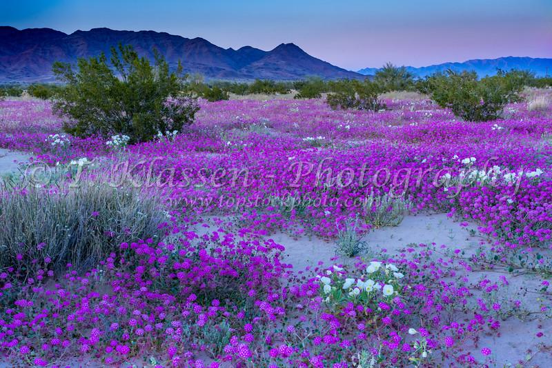 Desert wildflowers Sand verbena and Evening primrose bloom in the Desert Lily Sanctuary in the 2019 Desert Superbloom near Desert Center, California, USA.