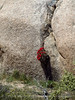 Mojave cholla in boulder, Mojave Natl Preserve CA