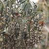 Monarch Butterfly Grove, Pismo Beach CA