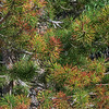 Colorful Pine Needls