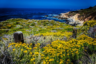 Yellow Flowers Lead to the Coast, Highway 1, CA, USA