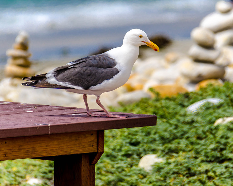 Birdwatch at Spanish Bay, Monterey, CA, USA