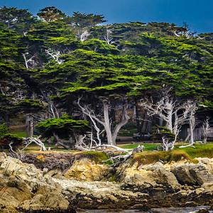 Green Cypruss - Monterey, CA, USA