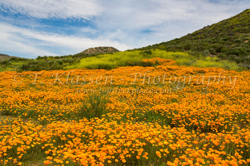 The spring California poppy blooming on a hillside near Murrieta, California, USA.