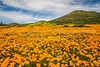The spring California poppy blooming on a hillside near Murietta, California, USA.