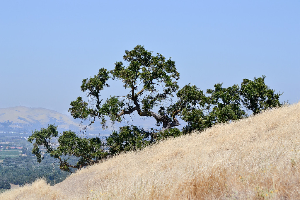 """The """"old oak"""" by the steps on RH Creek Trail."""