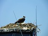 This nesting bird is the reason the boat cannot be moved
