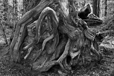 gnarly stump B&W