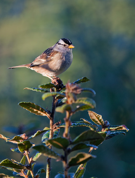 white-crowned sparrow on treetop