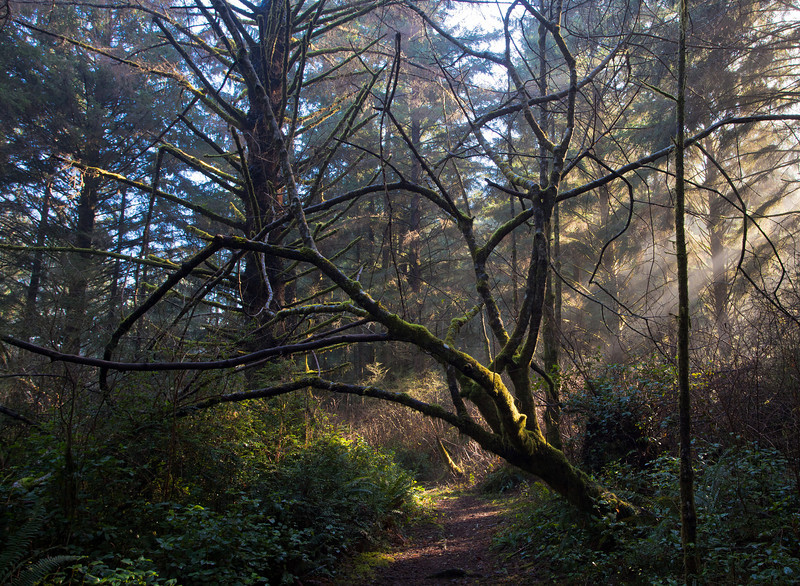 silhouetted tree on Yurok Loop trail Redwood Nat Park