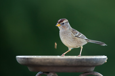 clumsy juvenile white-crowned sparrow