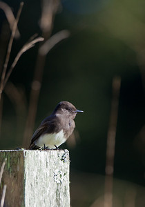 black phoebe at Glendeven