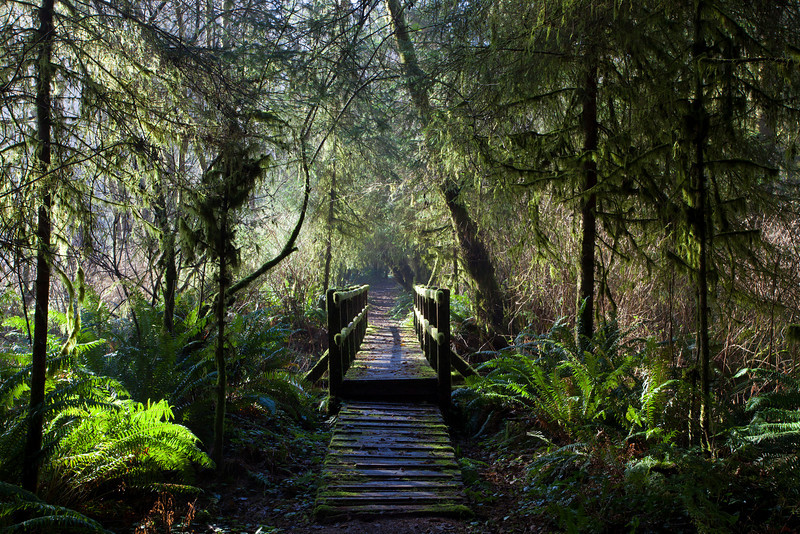 footbridge in steamy redwood forest