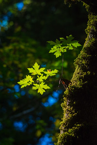 Armstrong Redwoods-0467