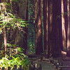Armstrong Redwoods-0455