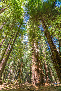 Armstrong Redwoods-0436