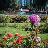 San Jose Municipal Rose Garden-1042