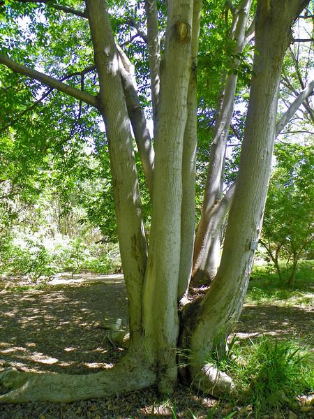 Asian Muku Tree