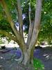Chinese Zelkova Tree