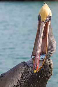 California brown pelican-4709