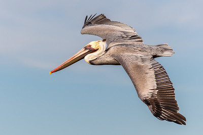 California brown pelican-6046