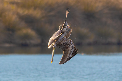 California brown pelican-6031