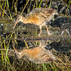 Clapper Rail and chicks