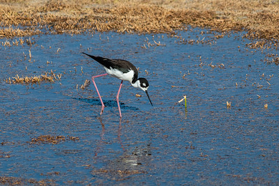 Black-necked stilt-6118