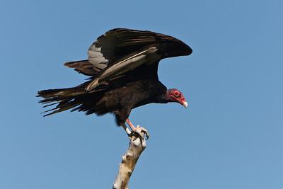 20 Turkey vulcher