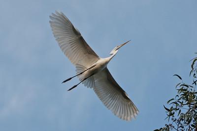20 Egret