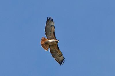 20 Red tail hawk