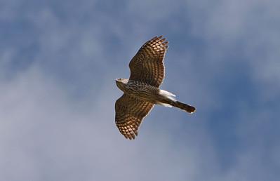 20 Falcon