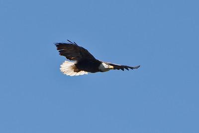 20 Bald eagle
